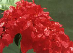 Chaconia or Wild Flower or Pride of Trinidad and Tobago